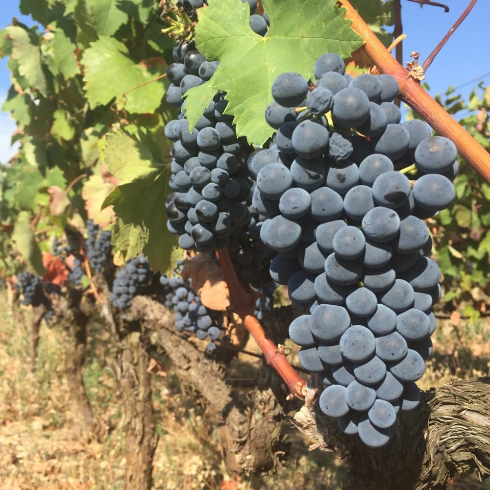 Wine grape